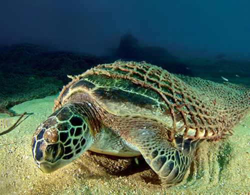 Turtle trapped by the nets abandoned in the oceans on the seabed.